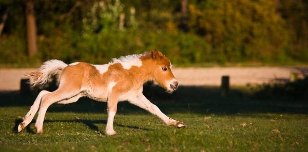 New Forest Shetland Foal by Paintman