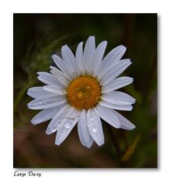Large Daisy ??