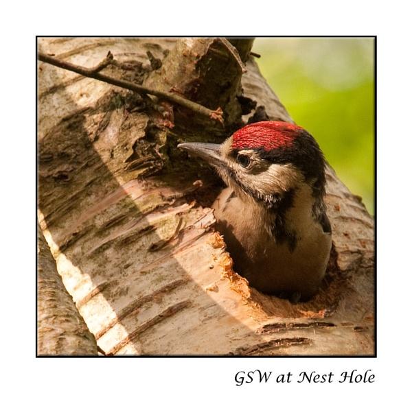 GSW in Nest Hole by harrattp