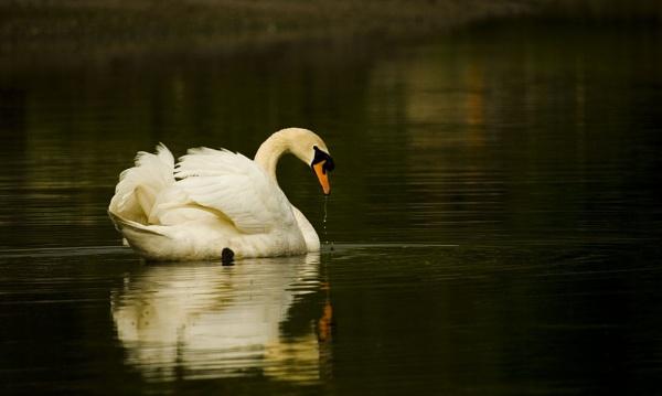 swan by Davestem