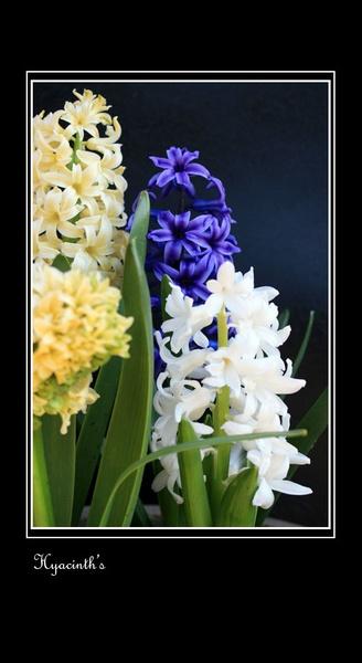 Hyacinth\'s by Rivergate