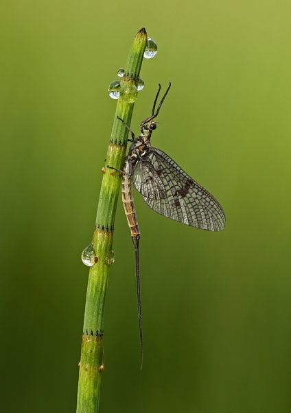 Mayfly by SurreyHillsMan