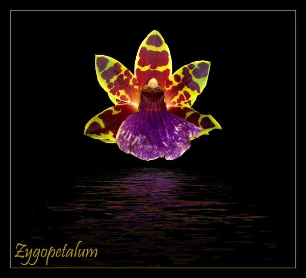 Zygopetalum by Anjantoo