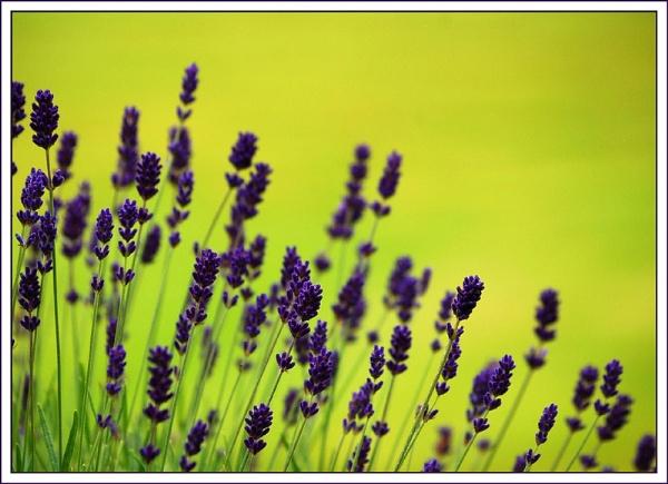 La-La-Lavender by BarryC123