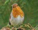 Robin by shandoor