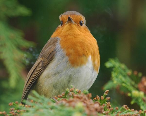 Robin 2 by shandoor
