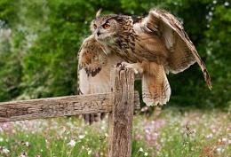 Turner-Eagle Owl