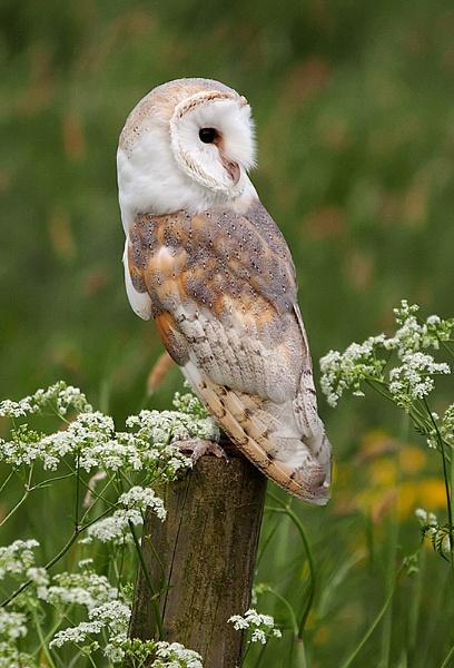 Luna-Barn Owl by Lorraine_Wallace