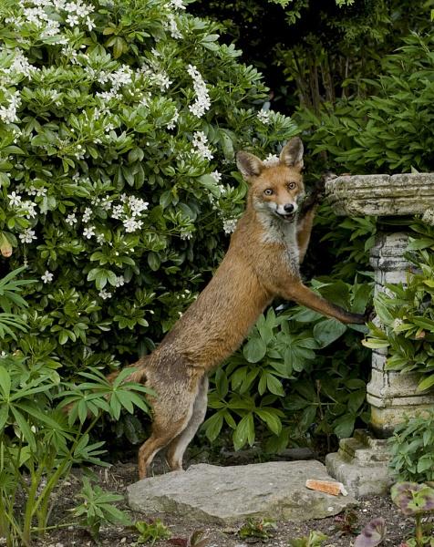 Urban Fox by paddyman