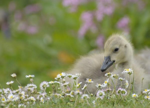 gosling by vickib