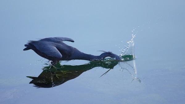Western Reef Heron by AneesKarakkad