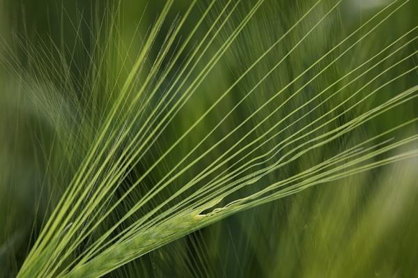 Wheat Ears by iansnowdon