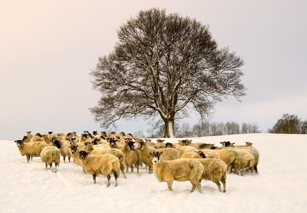 Winter Woolies by iansnowdon