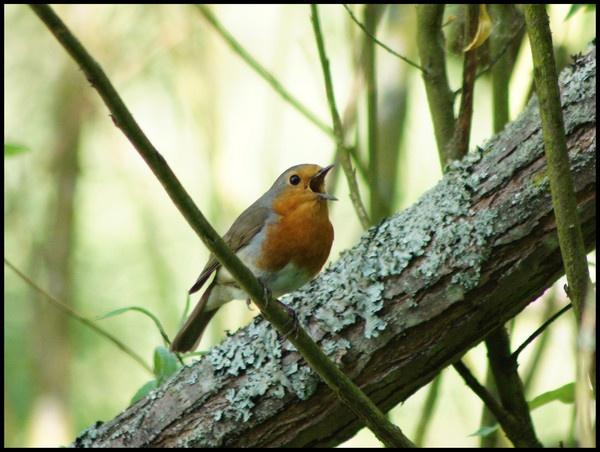Robin by alianar
