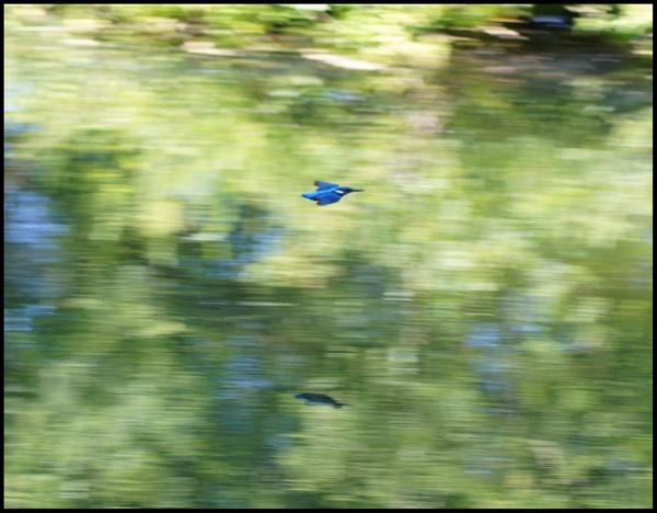 flying kingfisher by alianar