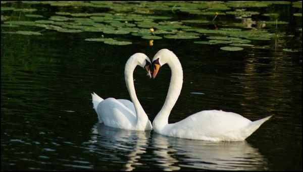 Love swans by alianar