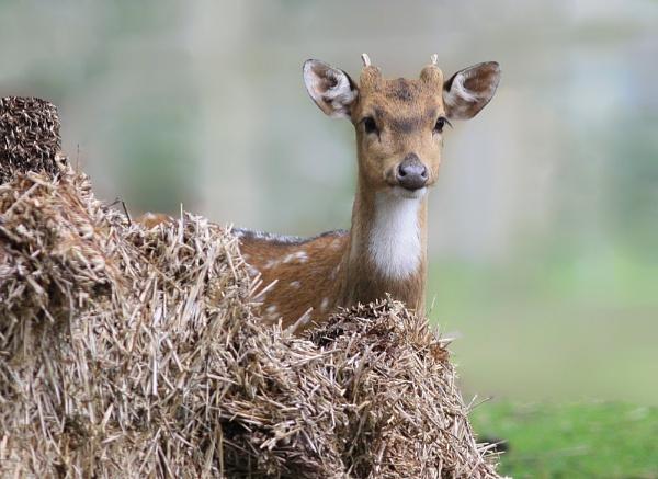 Axis Deer by LukeParkinson