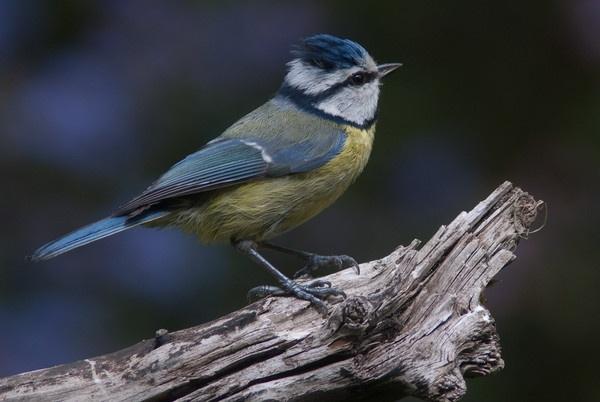 blue tit with a crest by kieranmccay