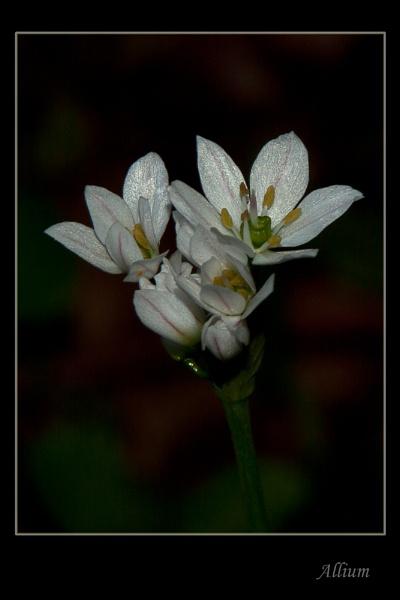 Allium by Alan_Baseley