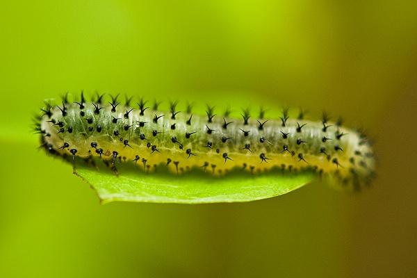 Sawfly Lava in Wappenbury Woods by Rachel81