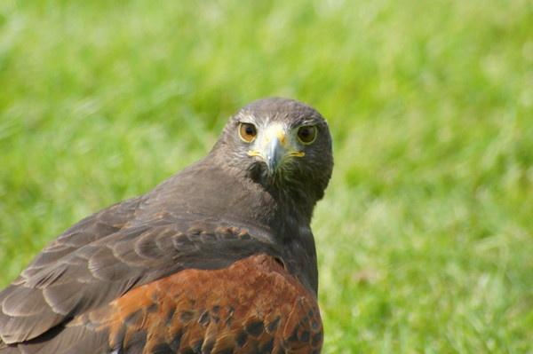 The Harris Hawk by stevec85