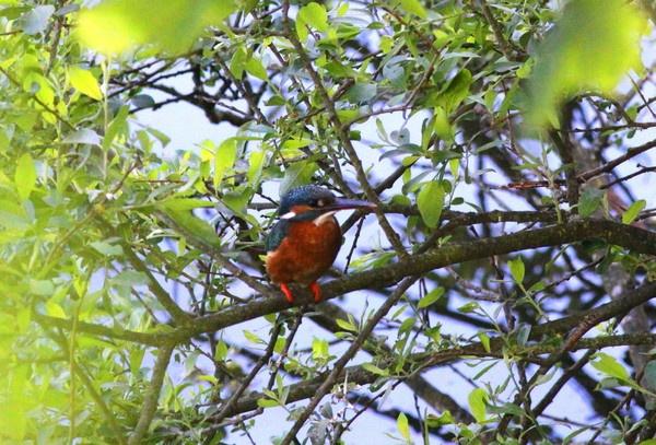Not my Best Kingfisher shot by darren41