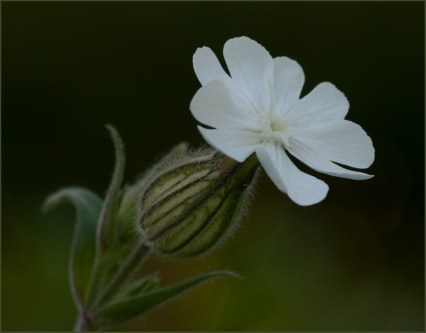 White campion by dormay