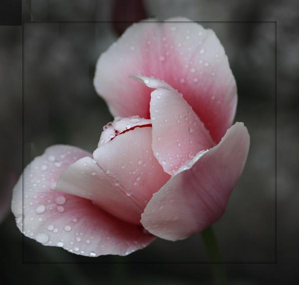 framed tulip by pinkpenguin
