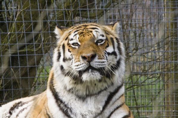 Amur Tiger by Arag
