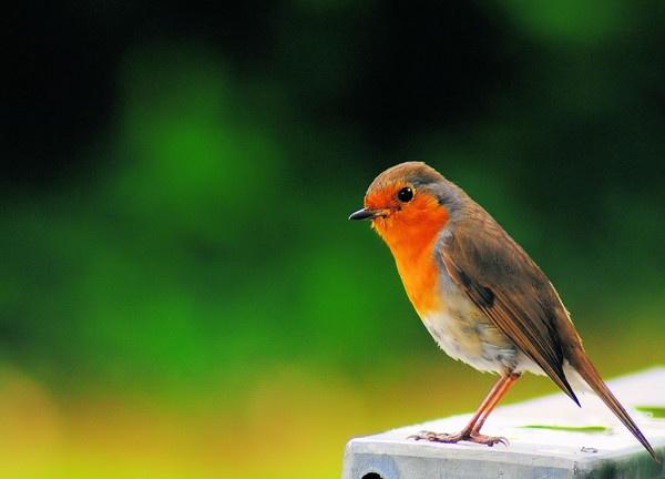 I am a robin lover... by gabriel_flr