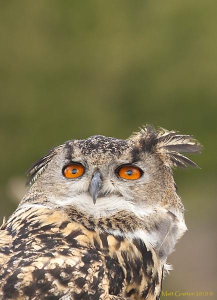 Rock Eagle Owl by mohikan22