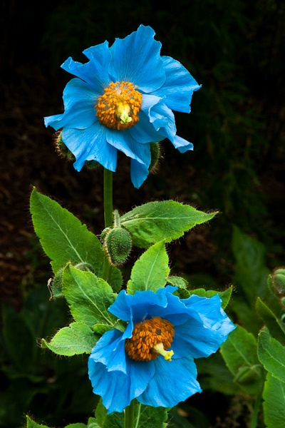 Himalayan Blue Poppies by JJGEE