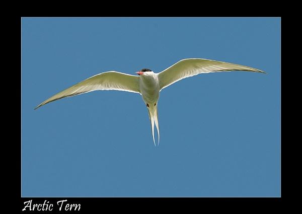 Arctic Tern by wharmby