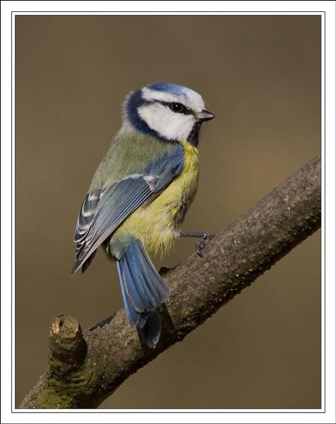 Blue Tit Poser by Blenkinsopp