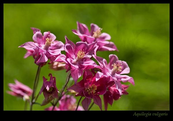 Aquilegia vulgaris by Sue_R
