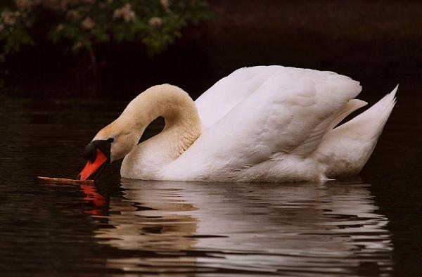 Feeding Swan by chensuriashi