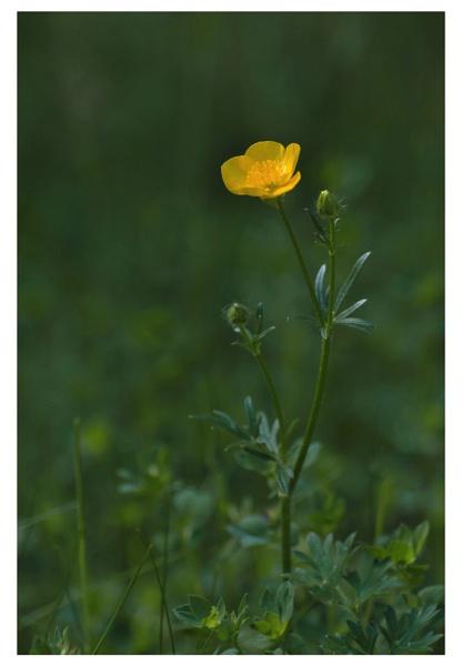 Meadow Buttercup. by Buffalo_Tom