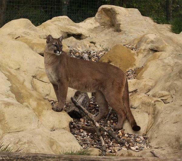 cougar posing by Seanf