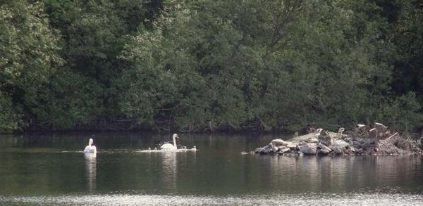 Swans Splashing by thebleezer