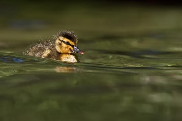 little duck by joze