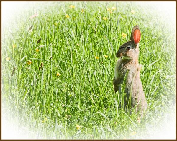 Wild Rabbit.! by sparklep
