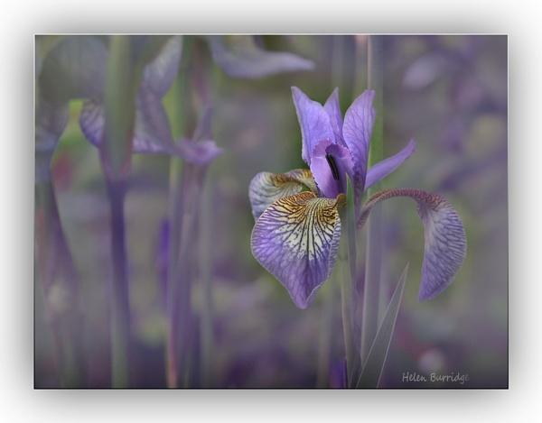 Iris by helenlinda