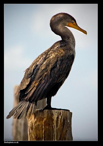 Big Bird by Bodiewil