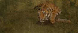 Tiger (c)