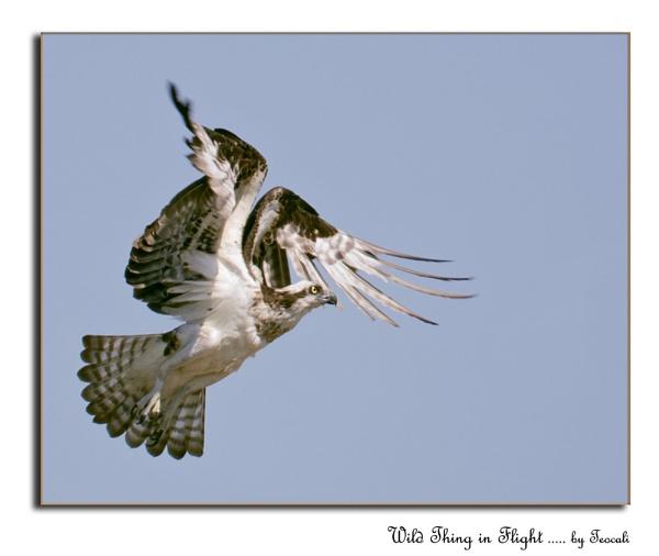 Wild Thing in Flight
