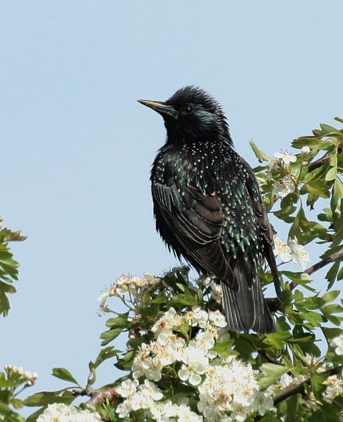 Starling by STEVELIN