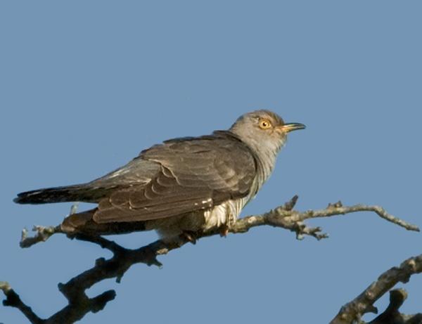 Cuckoo by Dinney