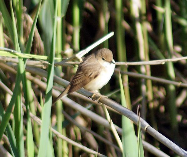 Reed Warbler by SiSheff