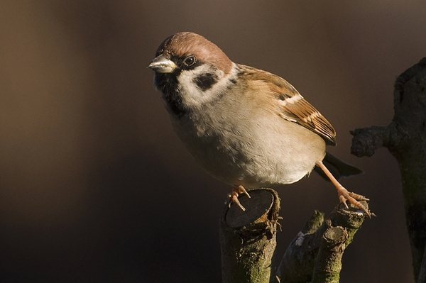 Tree Sparrow by Andysnapper
