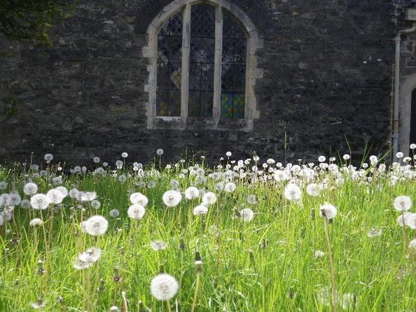 dandelion clocks and church window by bernie32